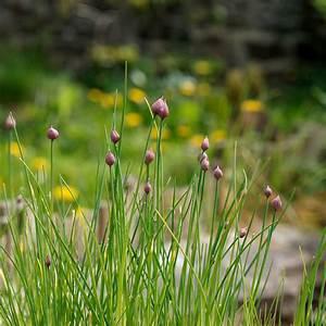 Wann Erntet Man Knoblauch : knoblauch einpflanzen knoblauch jetzt im garten pflanzen ~ Lizthompson.info Haus und Dekorationen