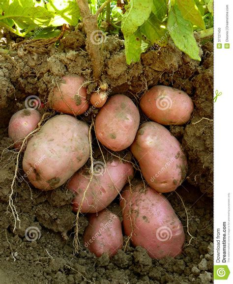 potato plant with tubers stock photo image 37727450