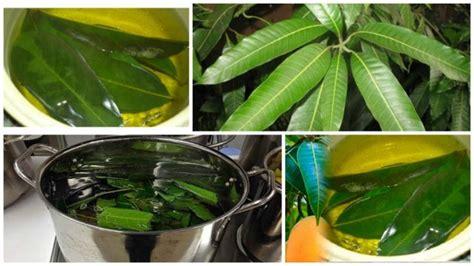 infusion de hojas de mango  controlar la diabetes