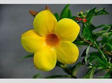 National Flower Of Virgin Islands Yellow Trumpet