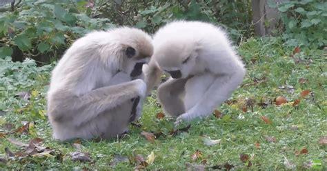 video captures gibbons reacting   rat  entered