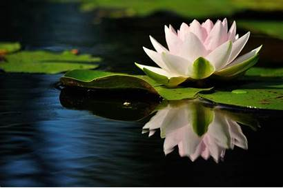 Water Lily Reflection 4k Quiet Wallpapers Leaves