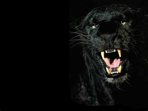 Panther Animal Wallpaper - animals zoo park black panther wallpapers animals hq