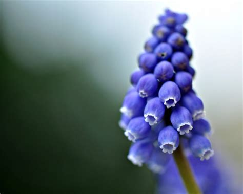 blueberry flower flowers nature background wallpapers