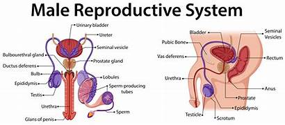 Reproductive Male Diagram System Showing Illustration Vector