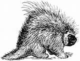Porcupine Coloring Animals sketch template