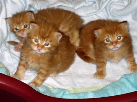 Kittens For Sale Kittens For Sale Tisllcoons