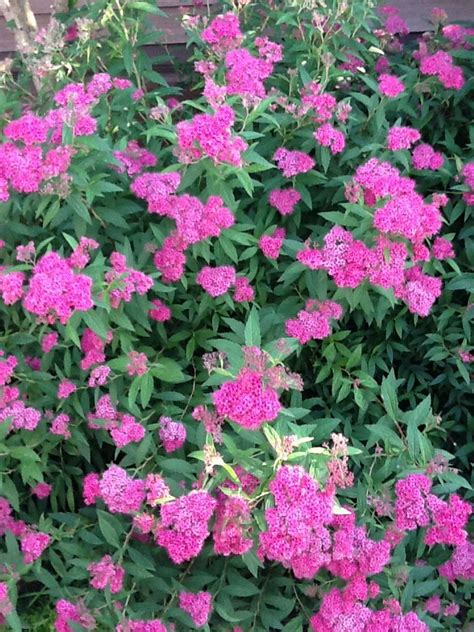 spirea shrub pictures spirea shrub i m in the garden pinterest