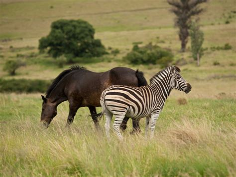 zebra horses zebras stripes humans horse wild 2oceansvibe domestic solved scientists mystery finally think why shutterstock years until statement human
