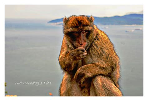 The Furtive Look | Gibraltar uk! | Oul Gundog | Flickr
