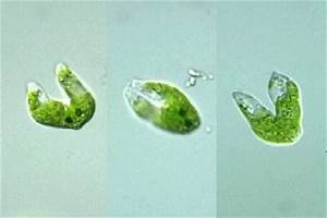 Life Cycle | Euglena