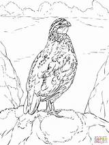 Quail California Coloring Pages Bobwhite Drawing Quails Clipart Printable Clip Valley Library Sketch Nothern Getdrawings Coloringhome sketch template