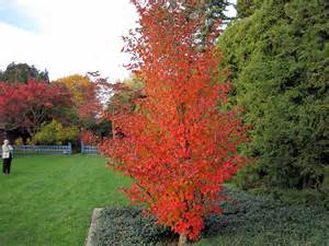 best trees for fall colors best trees to plant