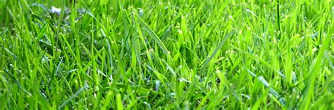 florida grass types identification florida lawncom