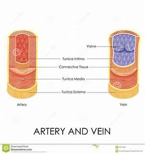 Artery And Vein Stock Vector  Illustration Of Blood  Intima