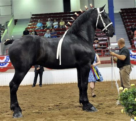 percheron horse horses farms windermere farm stallion percherons draft pa breed breeds moose clydesdale