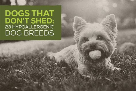 active breeds that dont shed dogs that don t shed 23 hypoallergenic breeds
