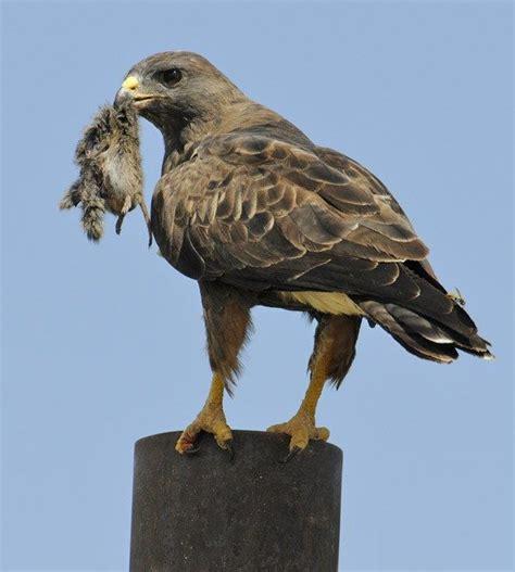 Swainsons Hawk | Raptors, Falcons, Eagles, Falconry, Birds ...