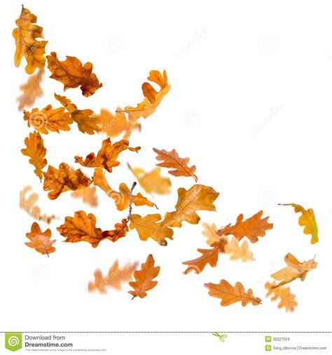 oak leaves falling stock images image