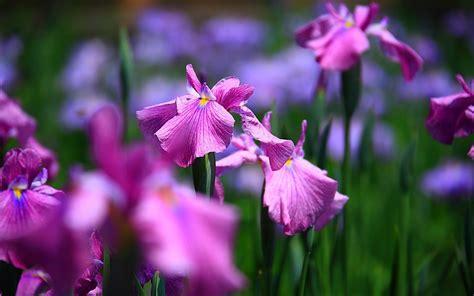 iris flowers free hd wallpaper iris flower wallpapers