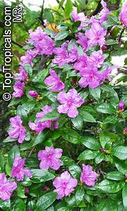 Rhododendron laetum