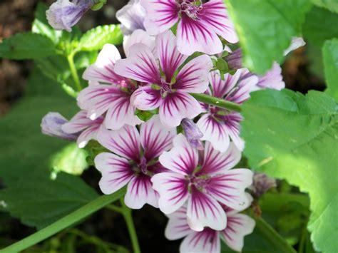 mallow plant malva sylvestris zebrina cdjb