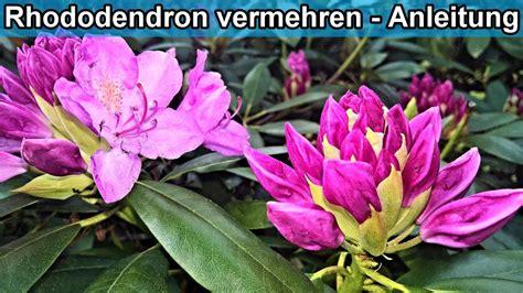 rhododendron durch stecklinge vermehren rhododendron durch absenker vermehren rhododendren ableger selber ziehen anleitung