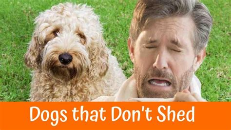 big breeds that don t shed a review of the best 70 hypoallergenic dogs that don t