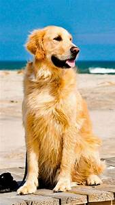 1000+ images about Golden Retriver on Pinterest | The ...