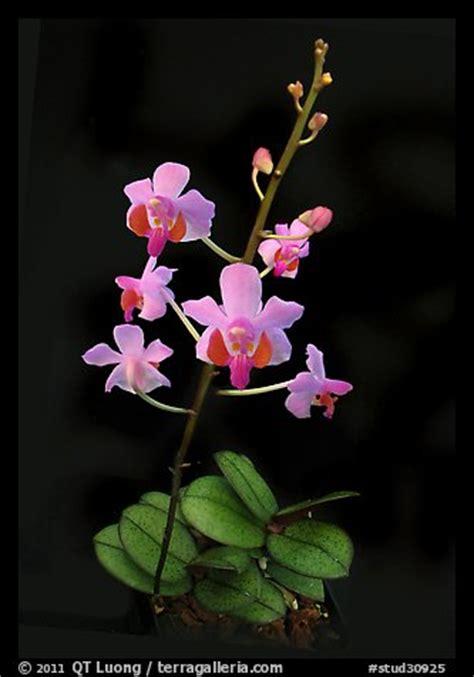 picturephoto phalaenopsis pulcherrima  species orchid