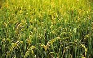 Green rice field wallpaper - Photography wallpapers - #54517