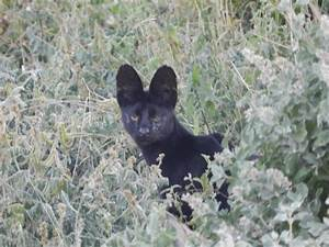 The gallery for --> Black Serval
