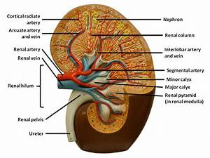 Abnormal Posiyion Of Renal Pelvis