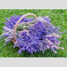 Strongest Scented English Lavender Varieties
