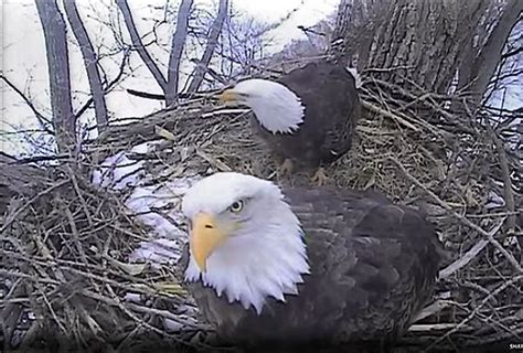 decorah s famous eagles prepare for another brood local