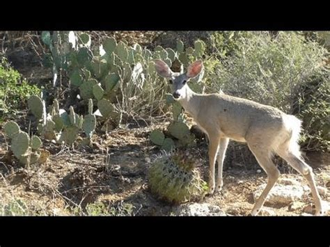 coues white tailed deer   bear canyon  tucson