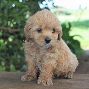 Poodle mixes for sale indiana – Dog life photo