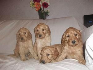 Irish Doodle ( Irish Setter Poodle Mix) Facts, Temperament ...