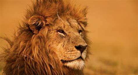 save lions defenders  wildlife
