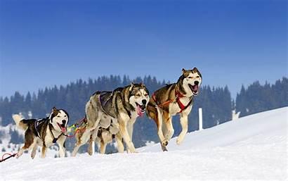 Sled Dog Alaska Team Sledding Snow Cruise