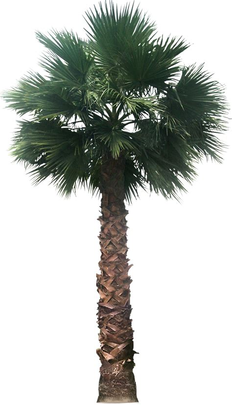planting fan palm trees tropical plant pictures washingtonia filifera california