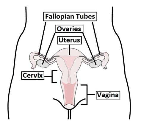 The Vagina - Structure - Function - Histology - TeachMeAnatomy
