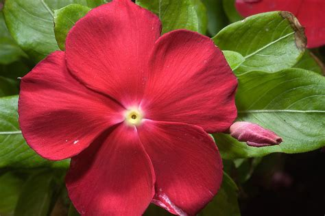 vinca flowers vinca flower search in pictures