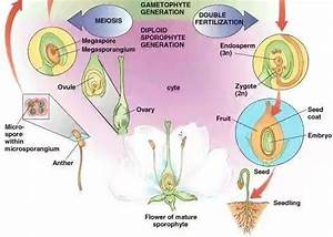 What Is The Process Of Fertilization In Angiosperms