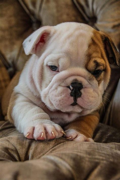 english bulldog puppies kc reg taunton somerset