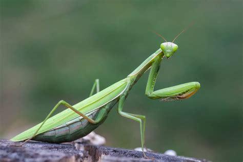 11 Wondrous Facts About Praying Mantises Treehugger