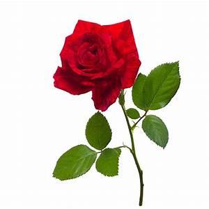 Single Red Rose Photography   Wallpaper sportstle