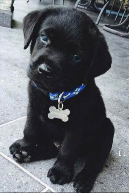 Lab Puppy Puppies Dogs Labrador Retrievers Animals