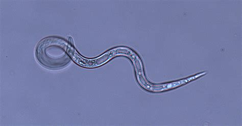 How nematodes outsmart the defenses of pests - BSPP - The ...