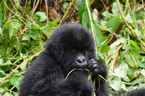 recycling   phone saves gorillas